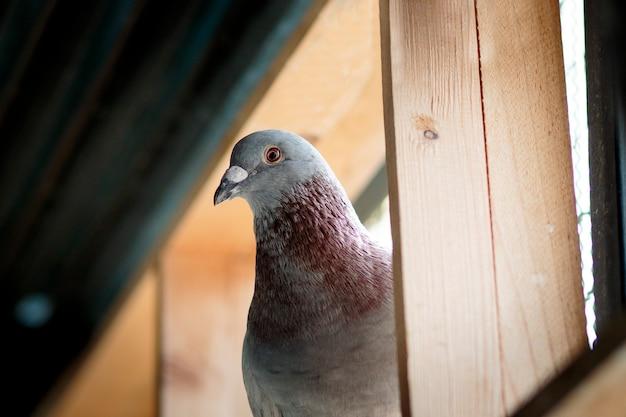 Portret gołębia pocztowego w domu na poddaszu