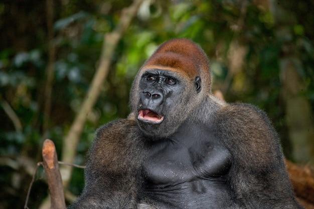 Portret goryla nizinnego. republika konga.