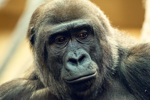 Portret goryla z bliska