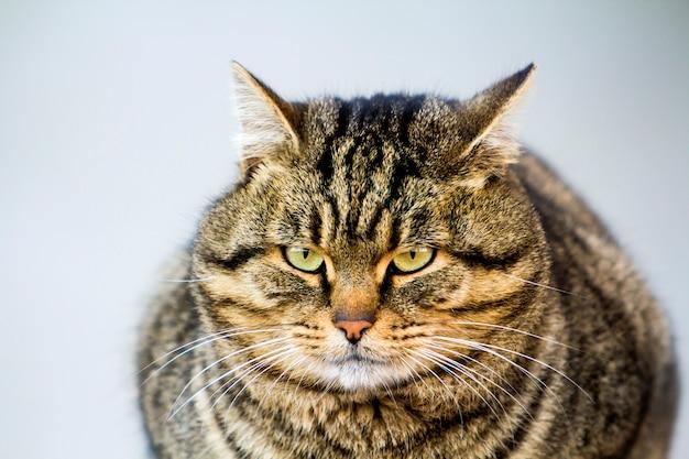 Portret gruby pasiasty kot z zielonymi oczami