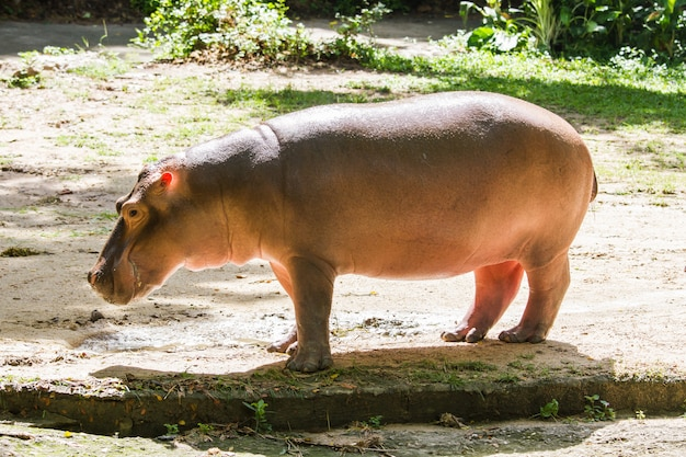 Portret hipopotama z bliska.
