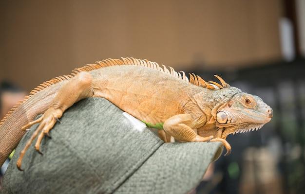 Portret iguana na czapce.