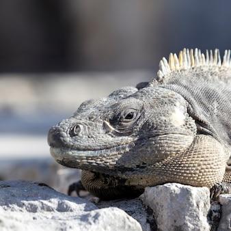 Portret iguany na skale pod słońcem