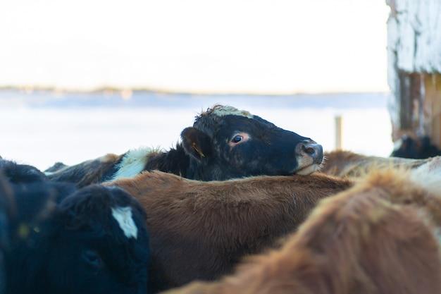 Portret islandzka krowa na gospodarstwie rolnym w zimie w śniegu