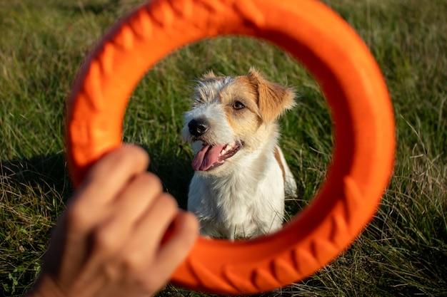 Portret jacka russella terriera przez pomarańczowy pierścień skaczący