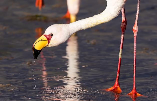 Portret jamesa flamingo jedzącego w kolorowej wodzie laguna colorada w boliwii