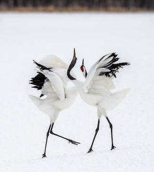 Portret japońskich żurawi w przyrodzie