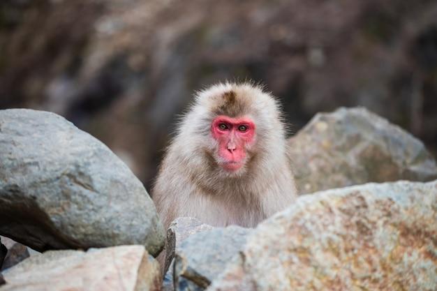 Portret japońskiego małpy śnieżnej makak na skale jigokudani park, yamanouchi, nagano, japonia.
