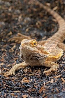 Portret jaszczurki brodaty smok