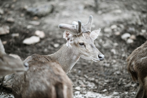 Portret jelenia pozycja w zoo. koncepcja zwierząt.