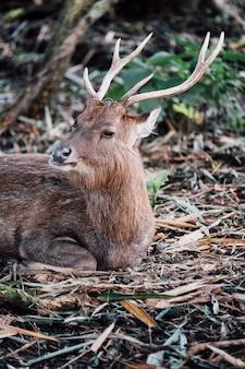 Portret jelenia w zoo