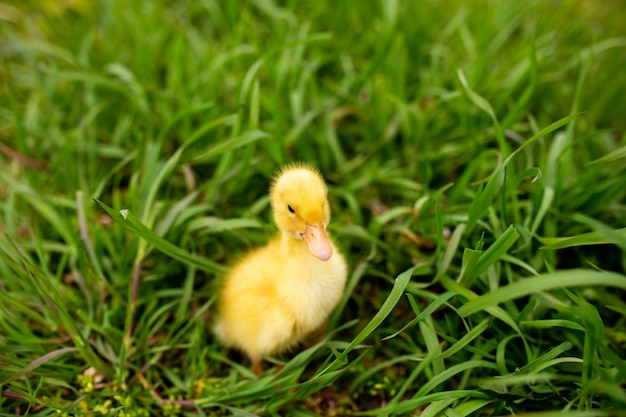 Portret kaczątko w zielonej trawie