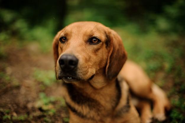Portret kłamać brązu psa w lesie