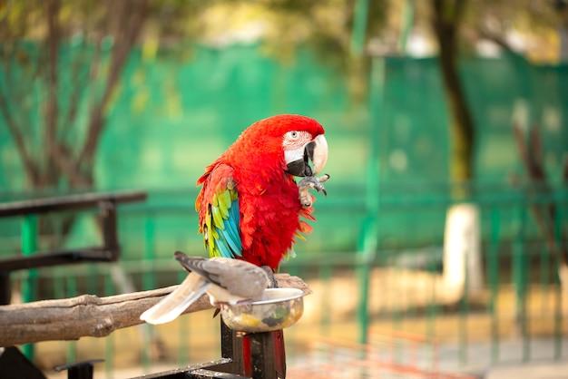 Portret kolorowa szkarłatna ary papuga z gołąbką w zoo łasowania dokrętkach