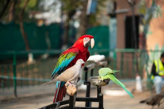 Portret kolorowa szkarłatna ary papuga z zieloną papugą i nurkujący w zoo je dokrętki