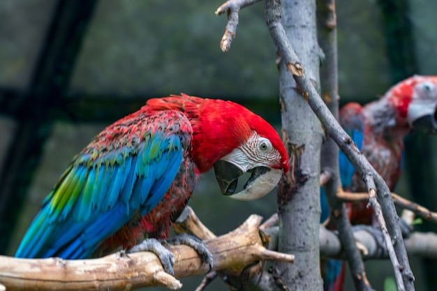 Portret kolorowe papugi ara scarlet na tle drewnianych gałęzi.