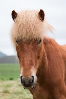 Portret konia islandzkiego