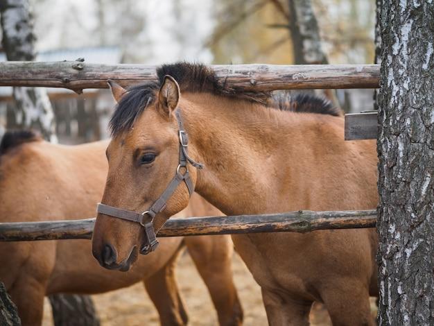 Portret konia pełnej krwi w wolierze na wolnym powietrzu.