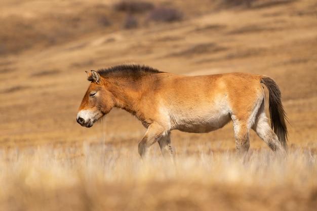 Portret konia przewalskiego w magicznym, miękkim świetle zimą w mongolii