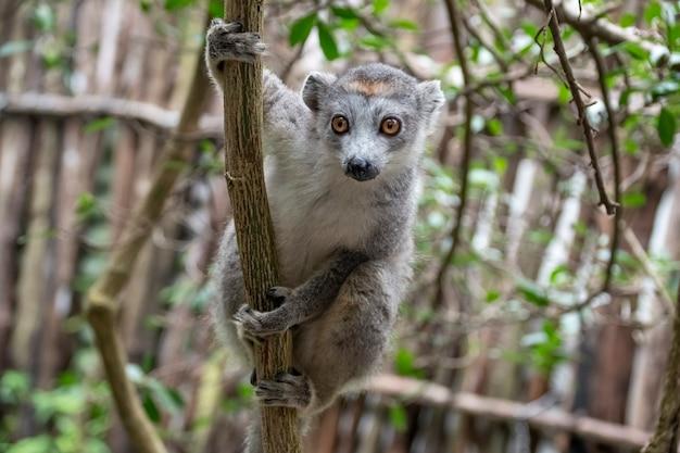 Portret koronowany lemur. koronowany lemur lub koronowany lemur mangusty to prymas z rodziny lemurów. endemiczny dla madagaskaru. afryka