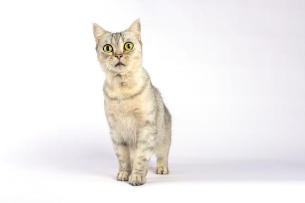 Portret kot o krótkich włosach z szokującą twarzą i szeroko otwartymi oczami.
