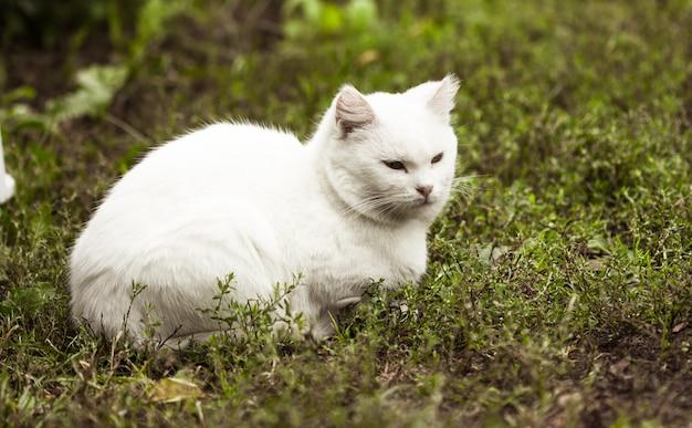Portret kota domowego o białym kolorze i dużych oczach. biały kot z różowym nosem. biała rosyjska rasa kotów.