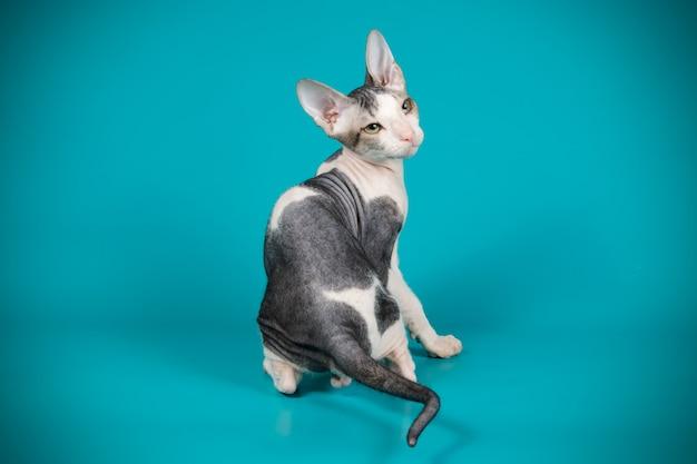 Portret kota don sphinx cat na kolorowej ścianie