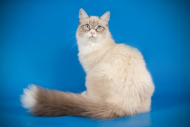 Portret kota neva masquerade na kolorowej ścianie