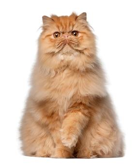 Portret kota perskiego, 7 miesięcy, siedzący
