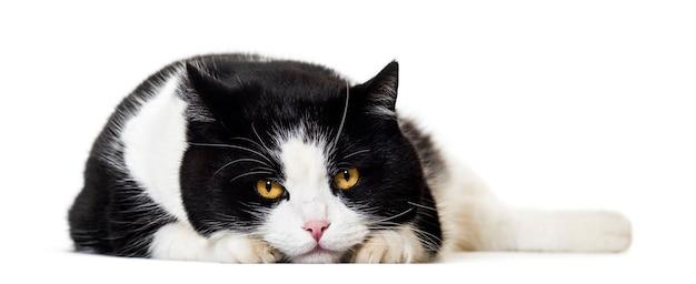 Portret kota rasy mieszanej na białym tle