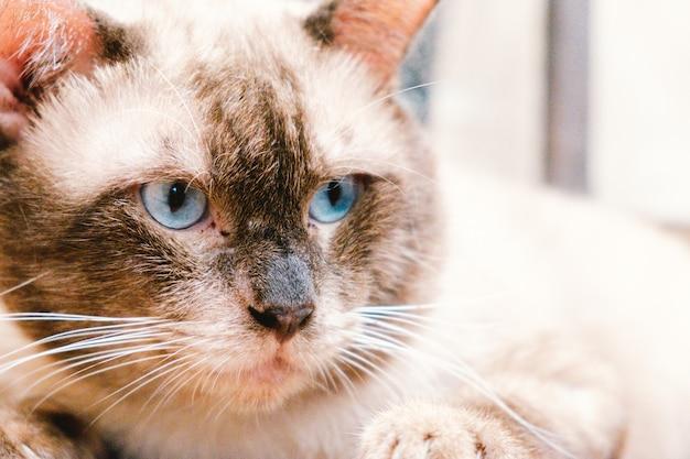 Portret kota syjamskiego