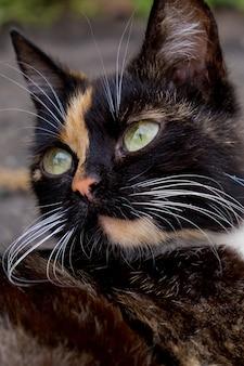 Portret kota tricolor. zamknąć widok.