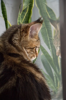 Portret kotka rasy maine coon siedzi na parapecie
