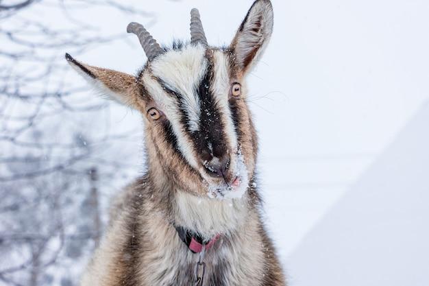 Portret kozła zimą na ulicy