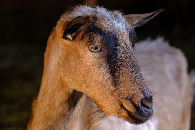Portret kozy na czarnym tle brązowa koza w stodole koza na farmie