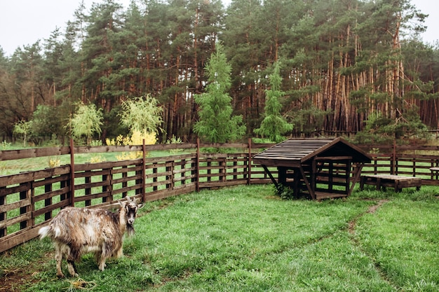 Portret kozy na farmie we wsi. stara koziołek z rogami. typowa scena w ukraińskiej wiosce, rolnictwo, hodowla zwierząt.