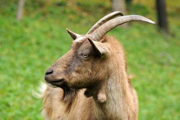 Portret kozy na tle zielonej trawy.