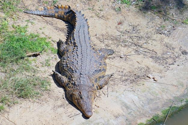 Portret krokodyla. krokodyl słodkowodny z gospodarstwa.