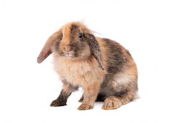 Portret królika na białym tle