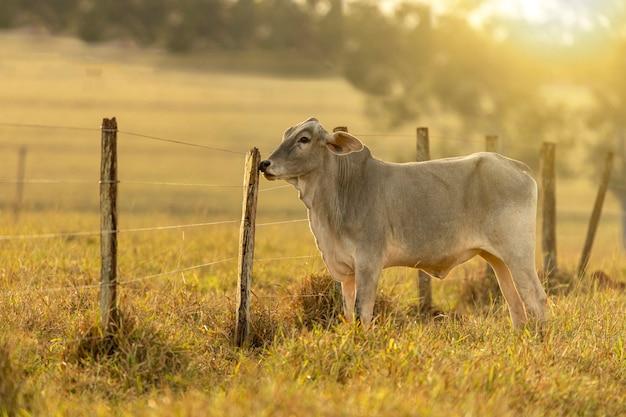 Portret krowy na pastwisku o zachodzie słońca.