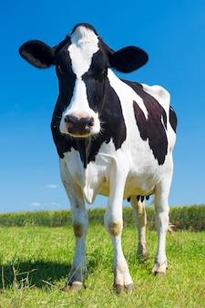 Portret krowy na zielonej trawie i niebieskim niebie