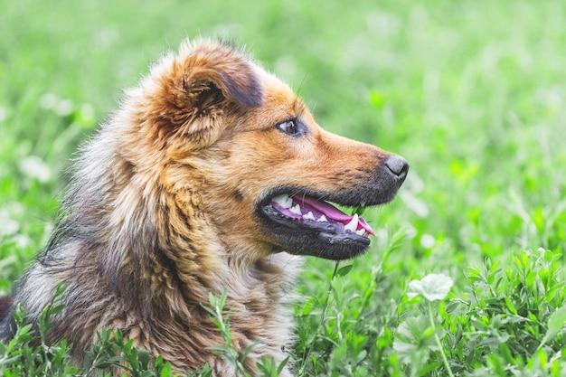 Portret kudłaty brązowy pies w profilu na tle zielonej trawie