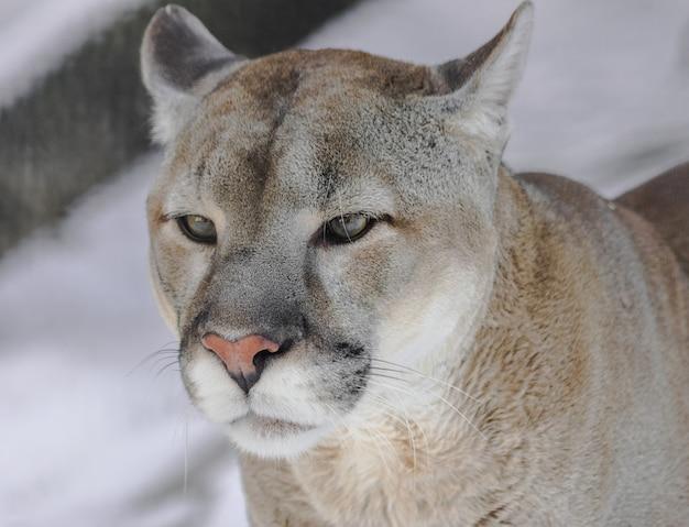 Portret kuguara (puma concolor) z białym śniegiem