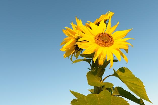 Portret kwitnącego słonecznika przed jasne, błękitne niebo