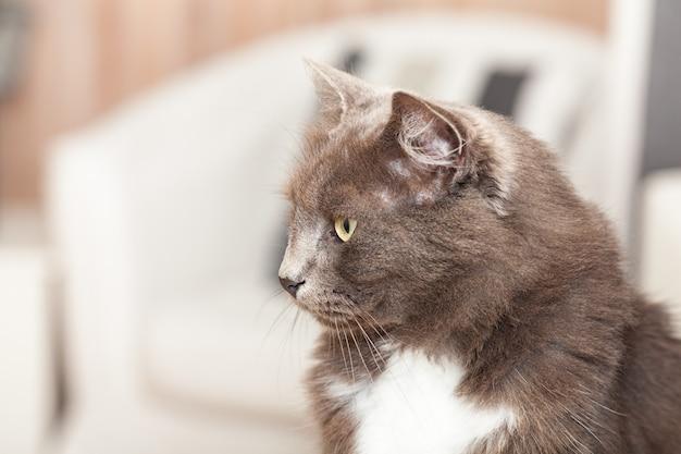 Portret ładnego kota chartreux z długimi włosami i żółtymi oczami.