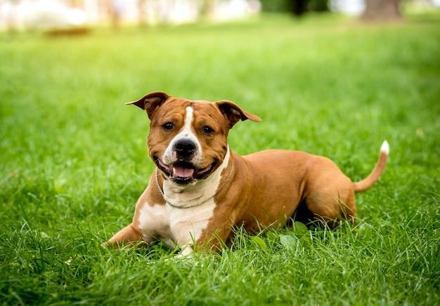 Portret ładny amerykański staffordshire terrier w parku