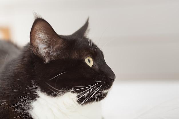 Portret ładny czarno-biały kot długowłosy z żółtymi oczami