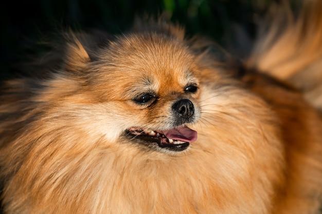 Portret ładny czerwony pomorskim na tle zielonej trawie, na zewnątrz. słoneczny dzień, pies się uśmiecha