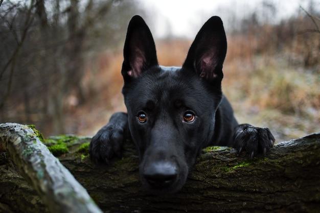 Portret ładny duży czarny kundel pies spaceru patrząc na kamery