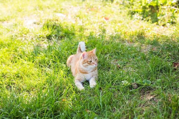 Portret ładny kot imbir leżący na słonecznej zielonej łące w ciepły letni wieczór.